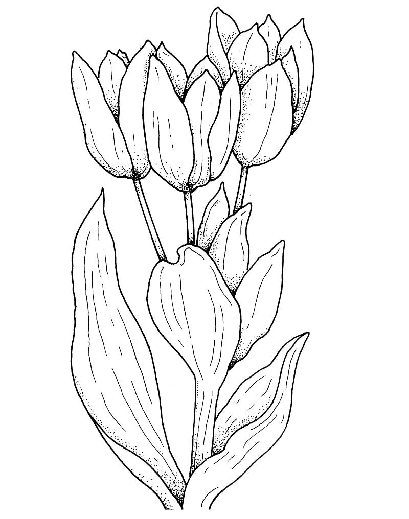 Desenhos de Flor de tulipas para colorir