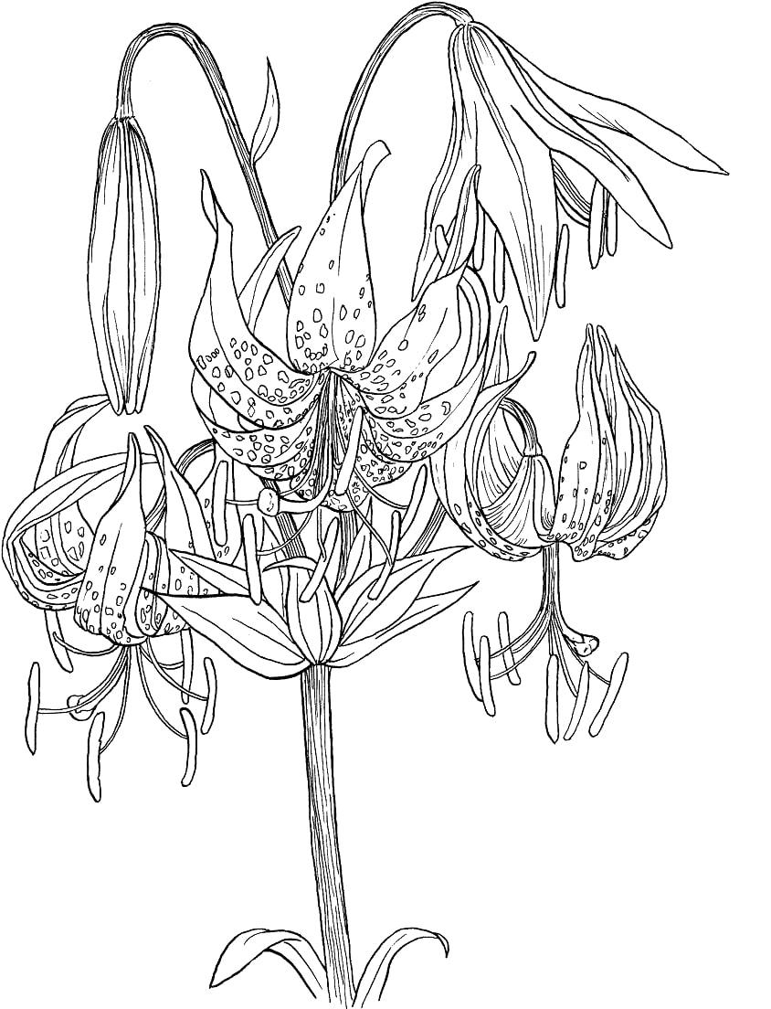 Desenhos de Lírio Chapéu-de-turco para colorir