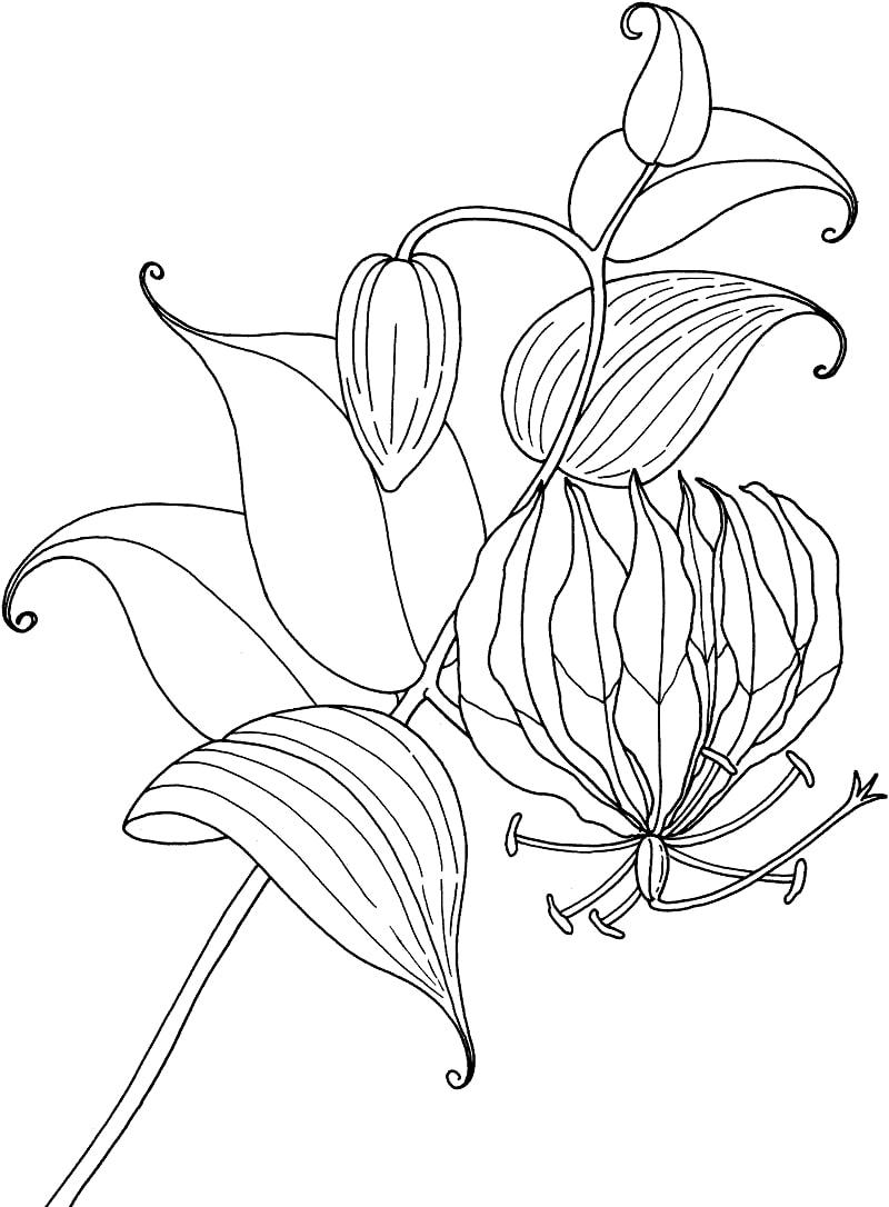 Desenhos de Lírio Glória Tropical para colorir