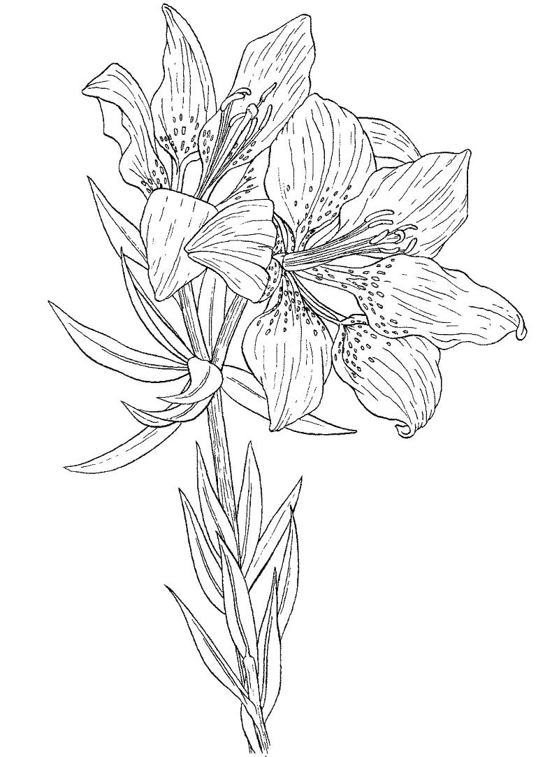 Desenhos de Lírio Vermelho Selvagem para colorir