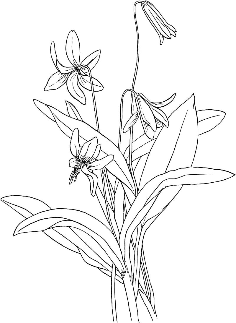 Desenhos de Lírio de truta para colorir