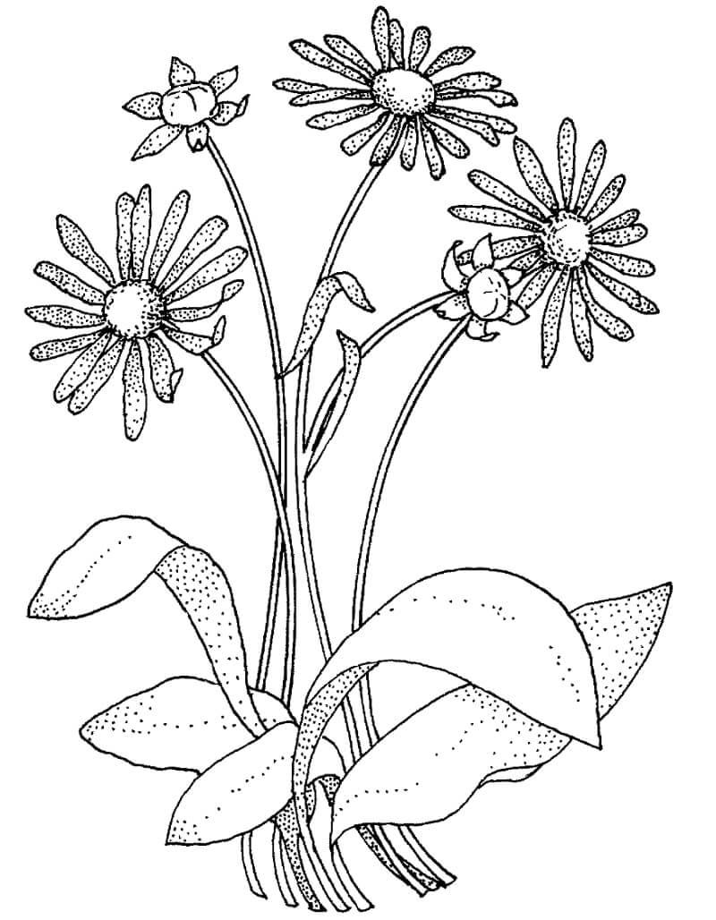 Desenhos de Margarida Asteraceae para colorir