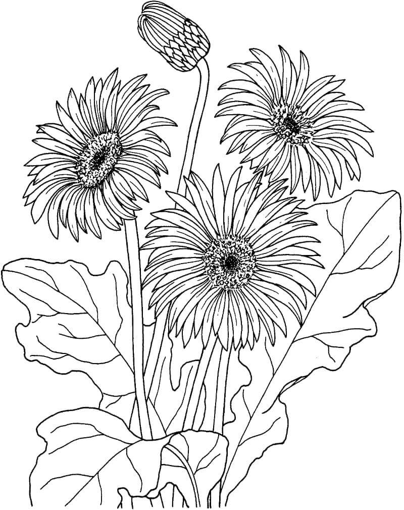 Desenhos de Margarida africana gerbera jamesonii para colorir