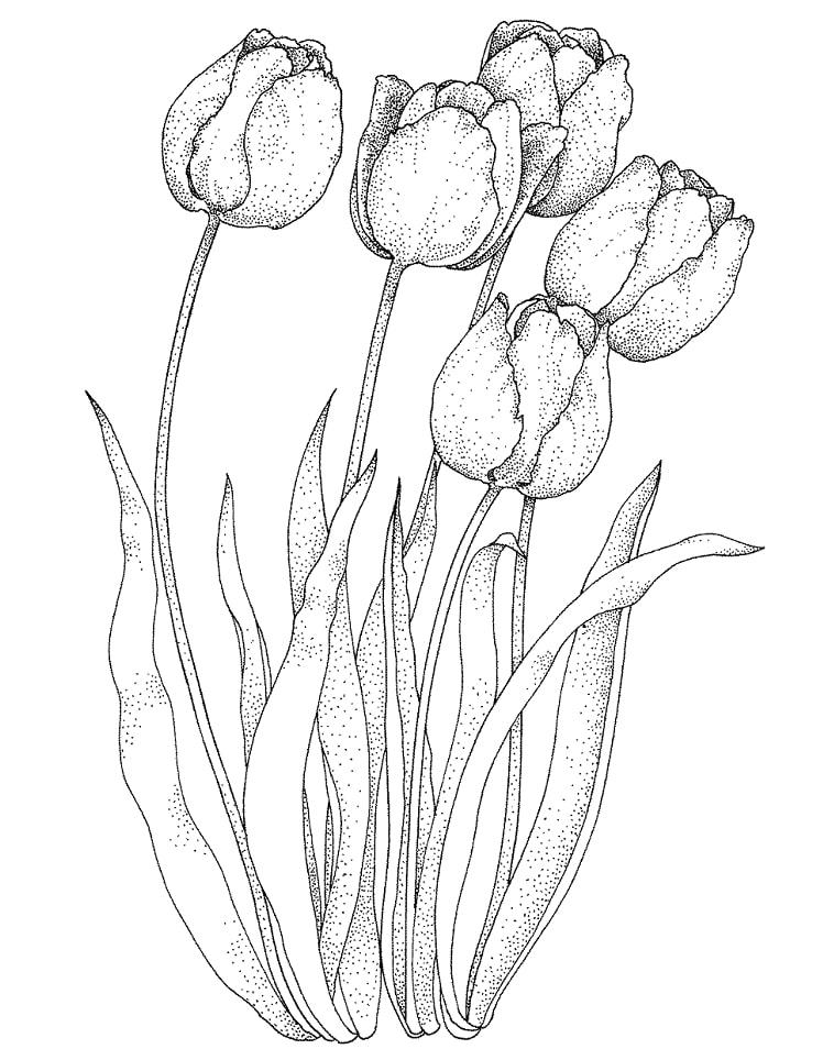 Desenhos de Quatro tulipas para colorir