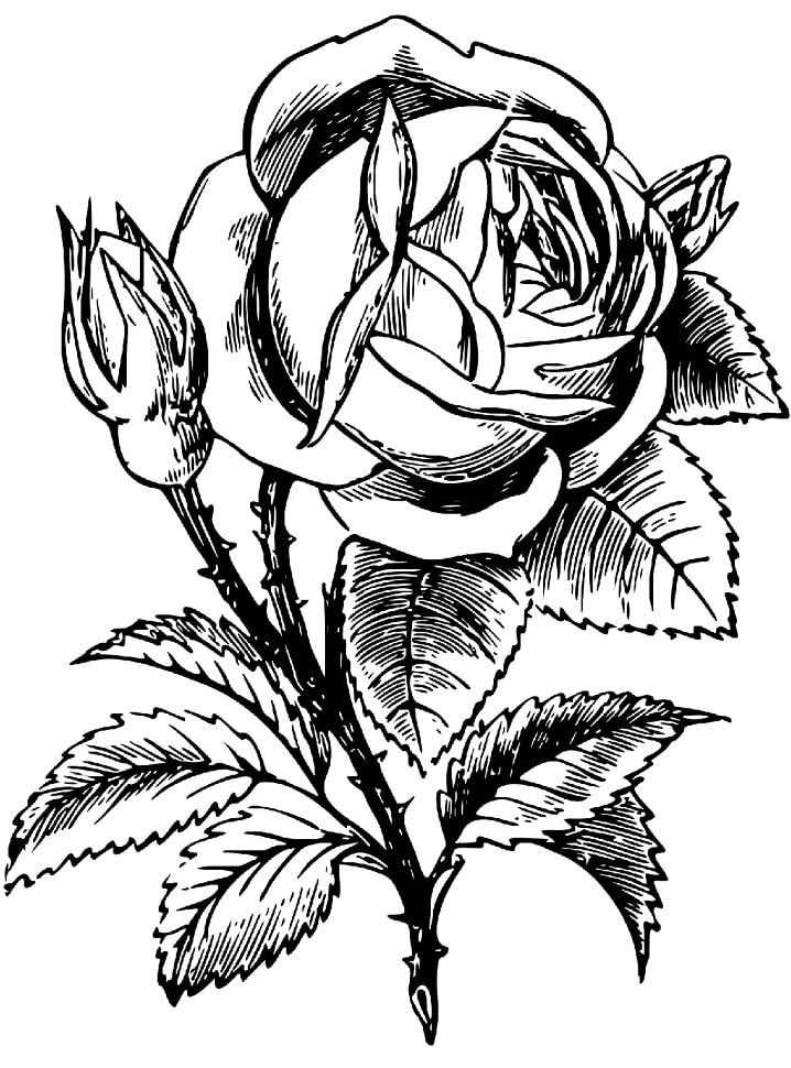 Desenhos de Rosa 2 para colorir
