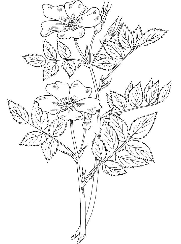 Desenhos de Rosa Blanda para colorir