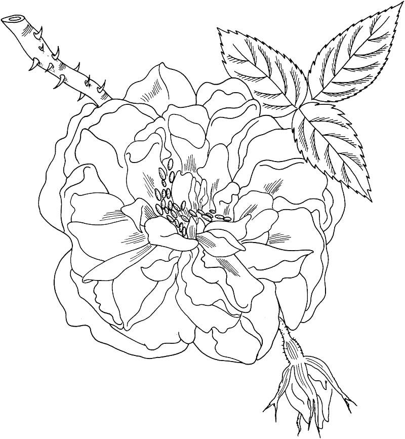Desenhos de Rosa de Lancaster e York para colorir