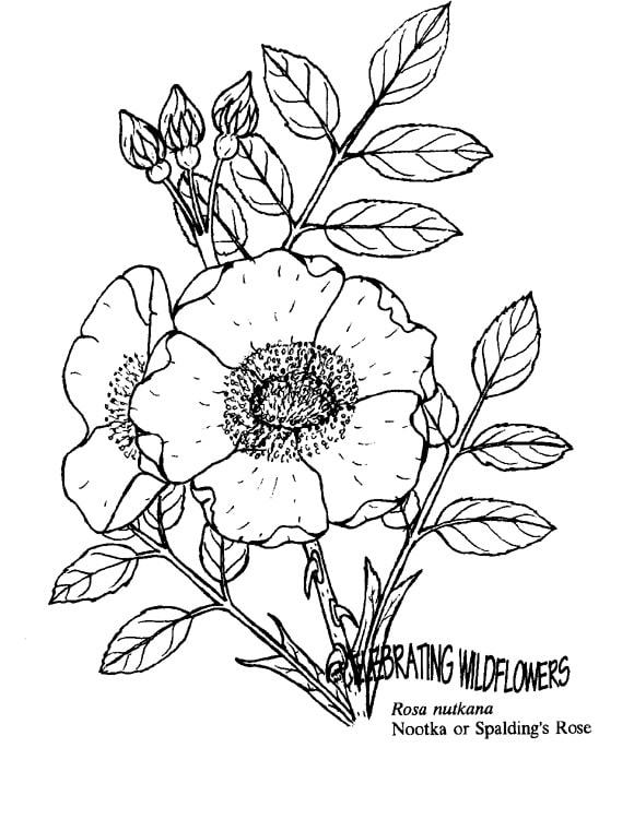 Desenhos de Rosa nutkana para colorir