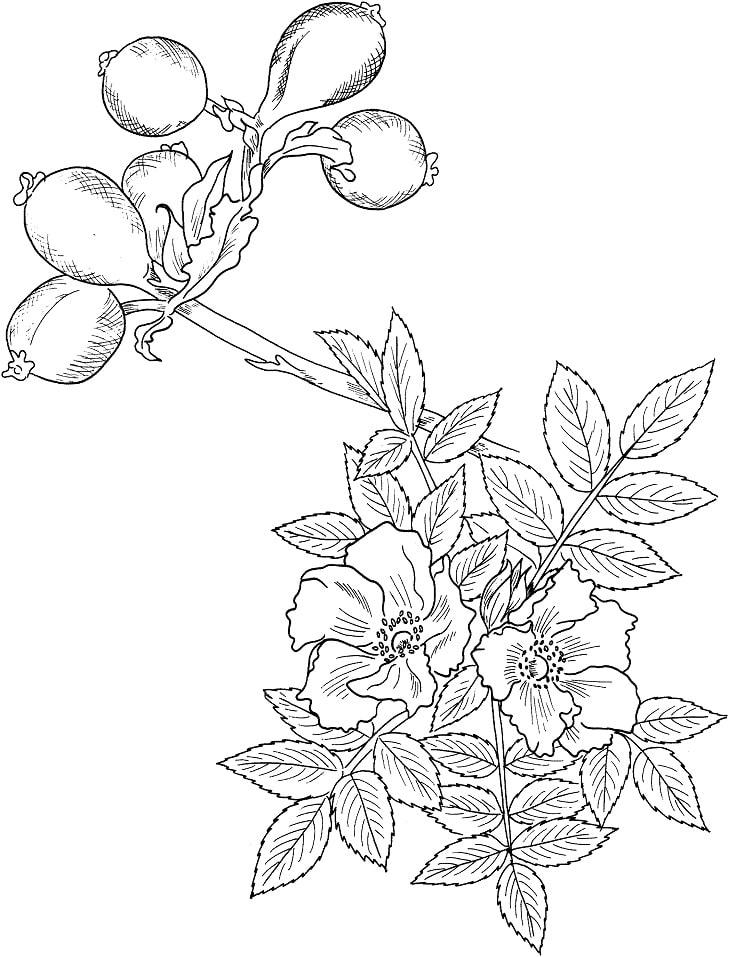Desenhos de Rosa selvagem para colorir