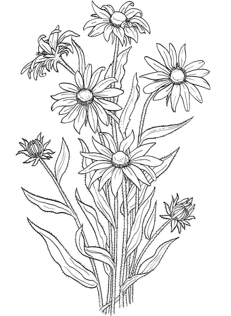 Desenhos de Rudbeckia Hirta para colorir