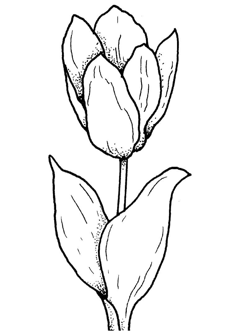 Desenhos de Tulipa 1 para colorir