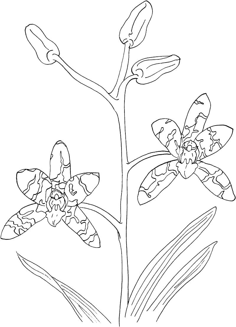 Desenhos de african ansellia ou orquídea leopardo para colorir