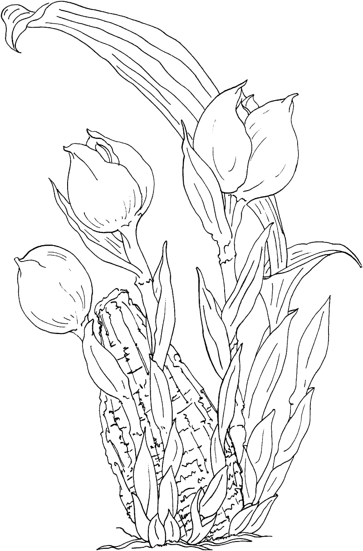 Desenhos de anguloa ruckeri ou orquídea-tulipa para colorir