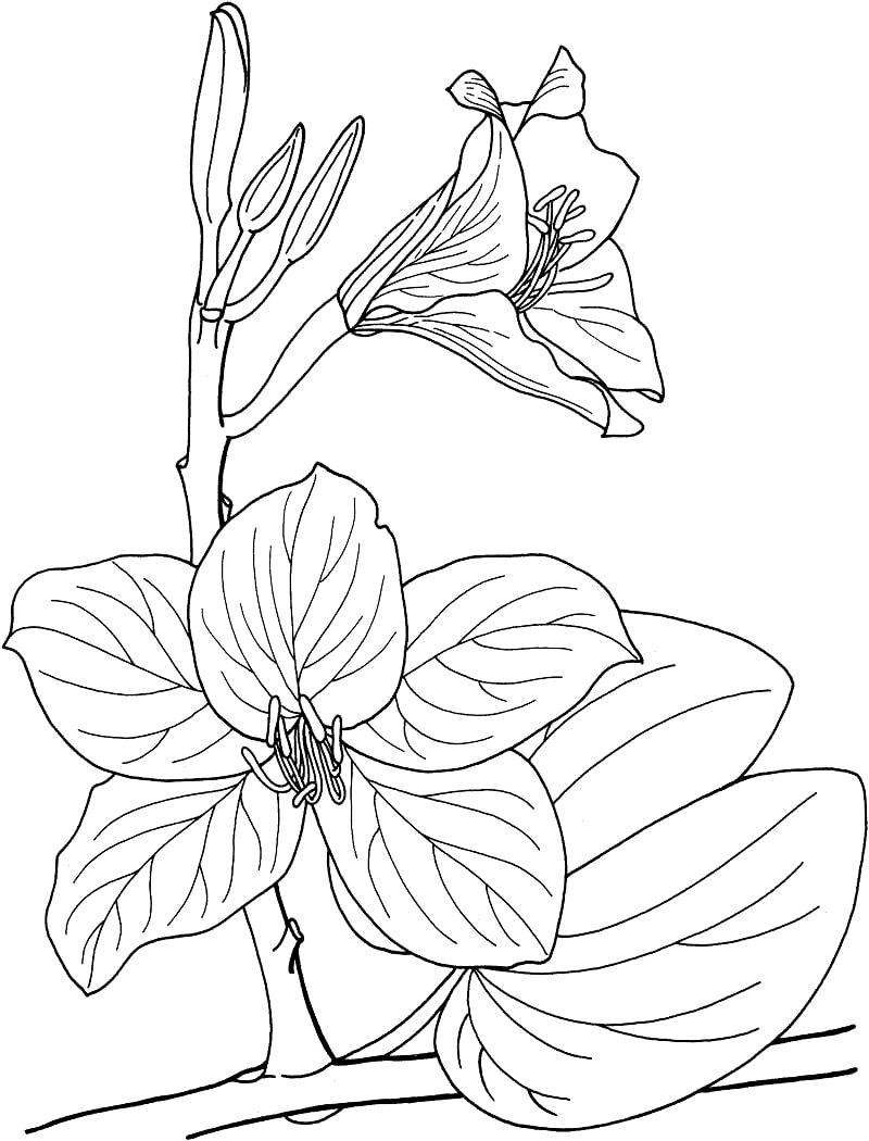 Desenhos de bauhinia, orquídea tropical para colorir