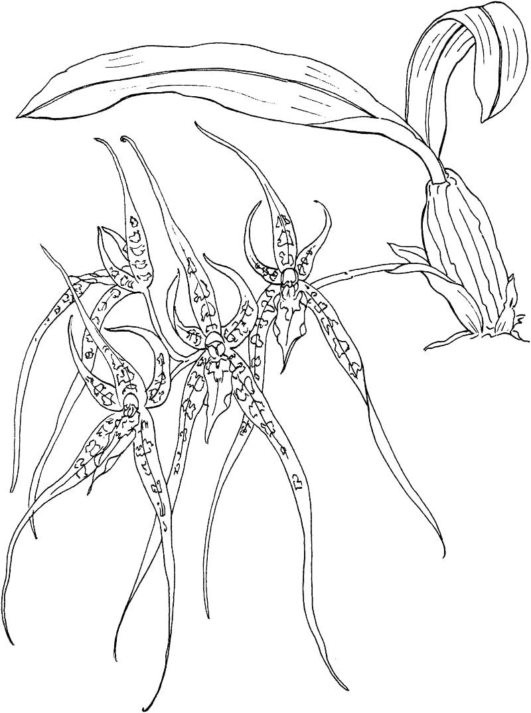 Desenhos de brassia, orquídea aranha para colorir