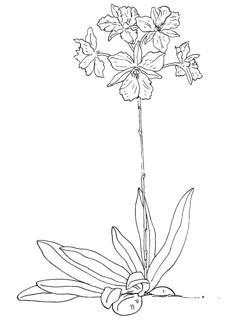 Desenhos de broughtonia sanguinea para colorir