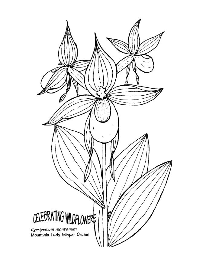 Desenhos de cypripedium montanum para colorir