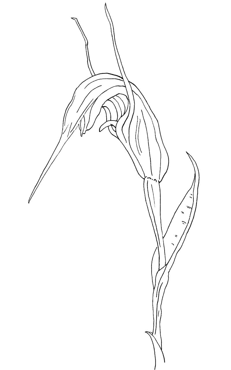 Desenhos de greenhood pterostylis decurva de verão para colorir