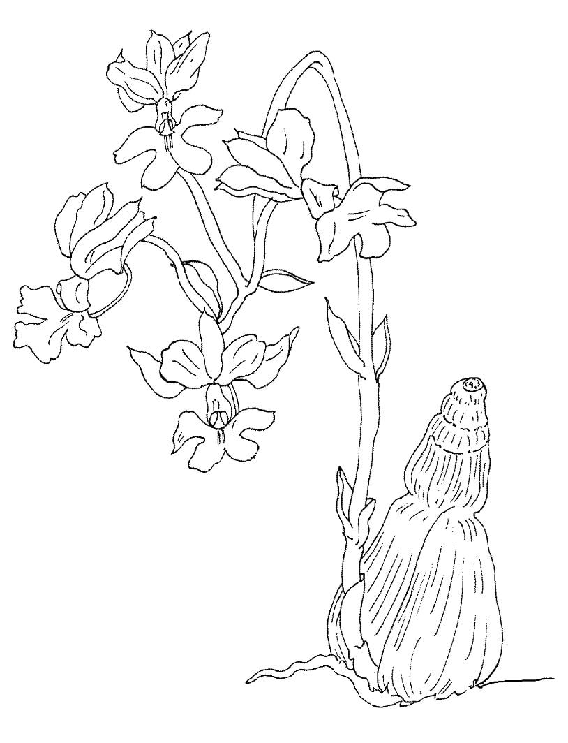 Desenhos de orquídea Regnieri para colorir