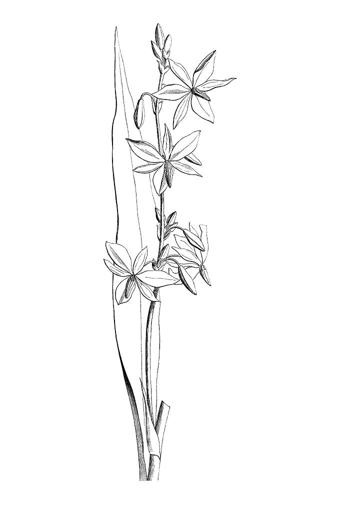 Desenhos de orquídea australiana de vitória para colorir
