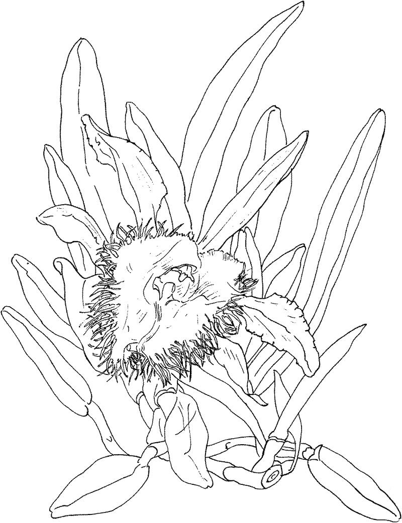Desenhos de orquídea brassavola digbyana para colorir