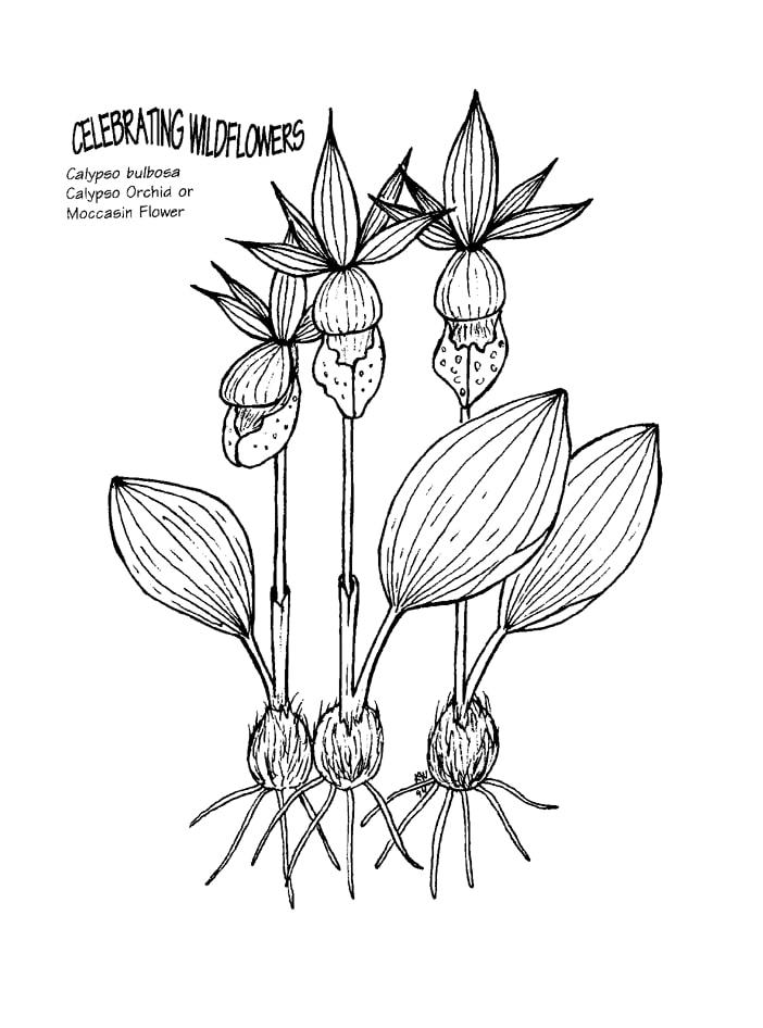Desenhos de orquídea calypso para colorir