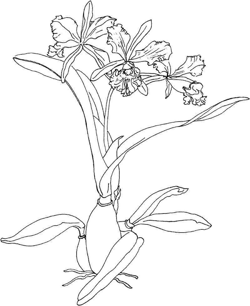 Desenhos de orquídea-de-natal para colorir