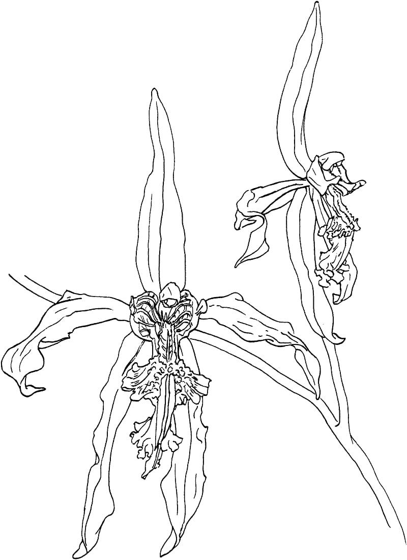 Desenhos de orquídea negra para colorir