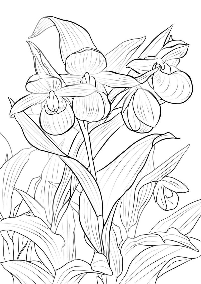 Desenhos de orquídea sapatinho-de-dama rosa e branca para colorir