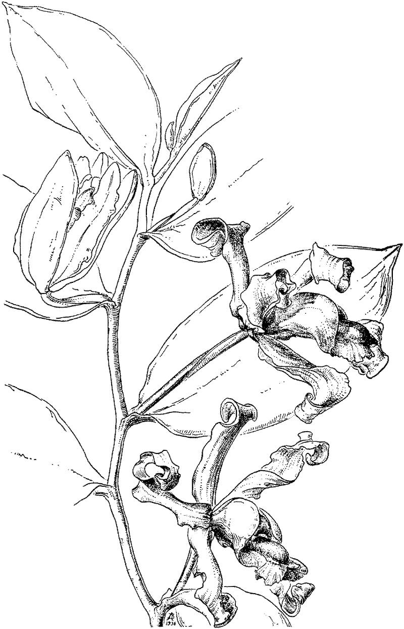 Desenhos de orquídea vitoriana para colorir