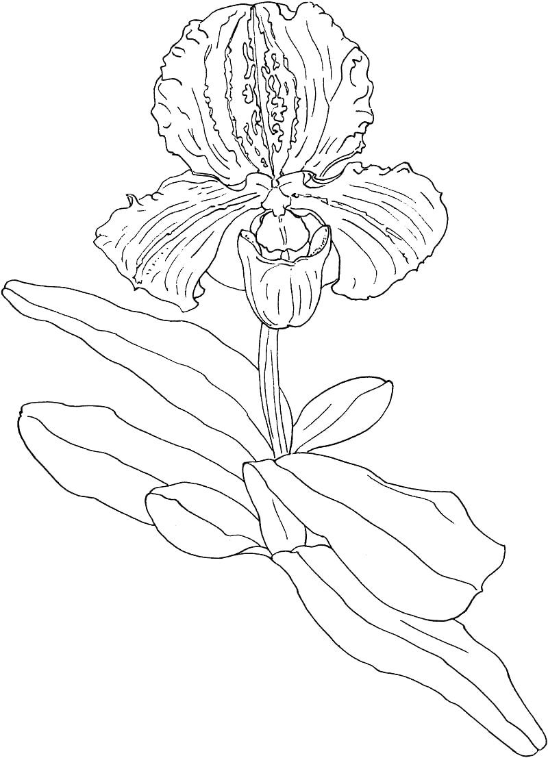 Desenhos de sapatinho, orquídea paphiopedilum para colorir