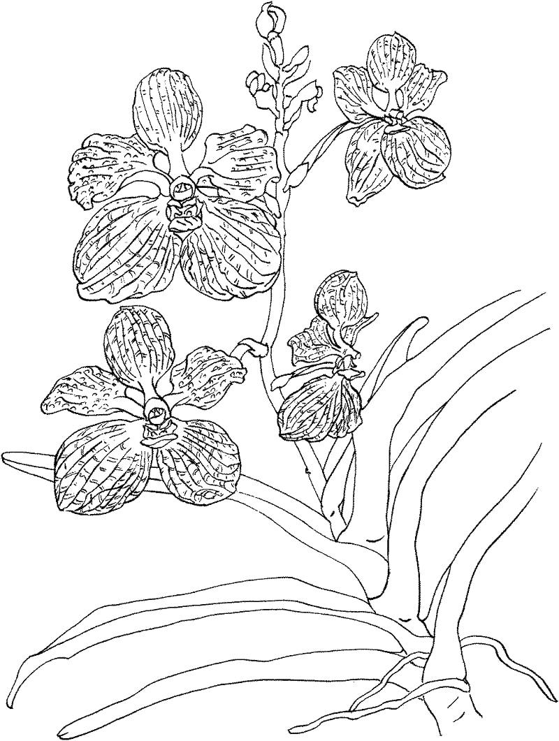Orquídea para Colorir
