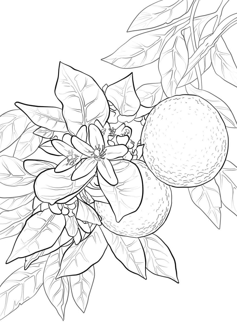 Desenhos de Flor de Laranja para colorir