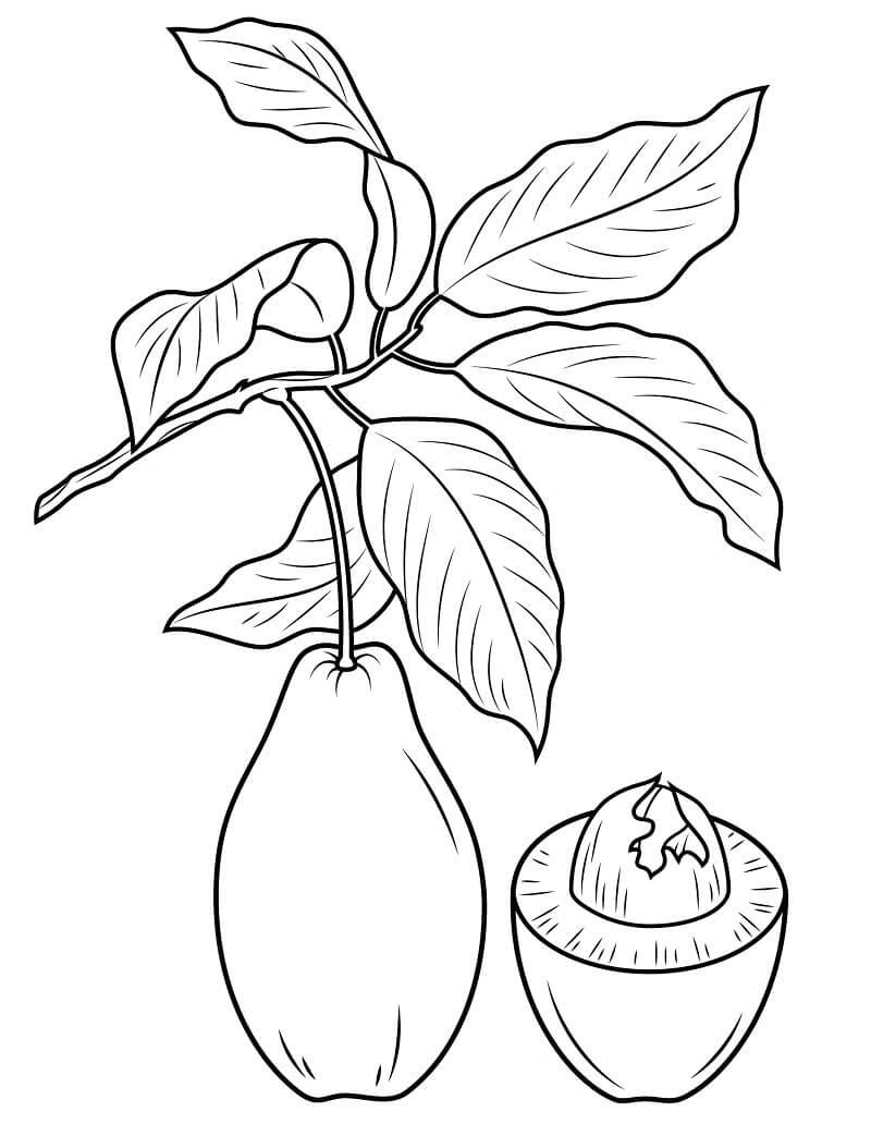 Desenhos de Galho de Abacate 1 para colorir