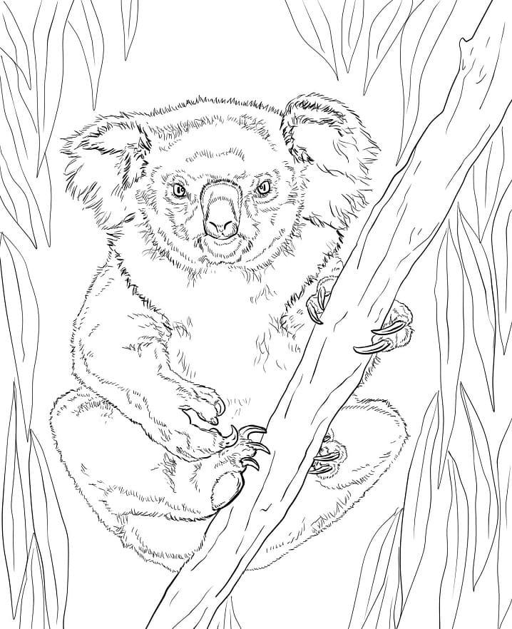 Desenhos de Coala Selvagem para colorir 4 para colorir