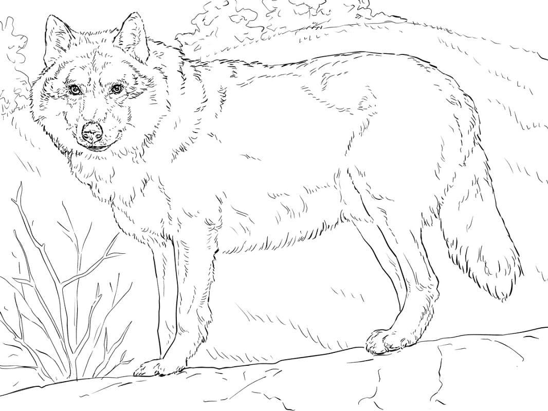Desenhos de Lobo Selvagem para colorir