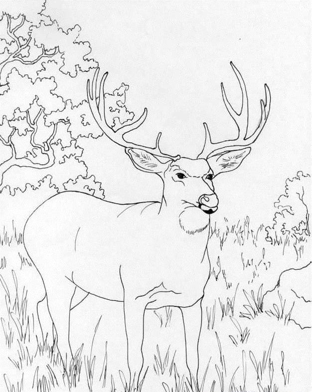Desenhos de Veado Selvagem 5 para colorir