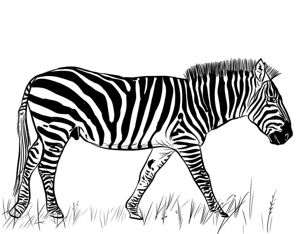 Desenhos de Zebra Normal 5 para colorir