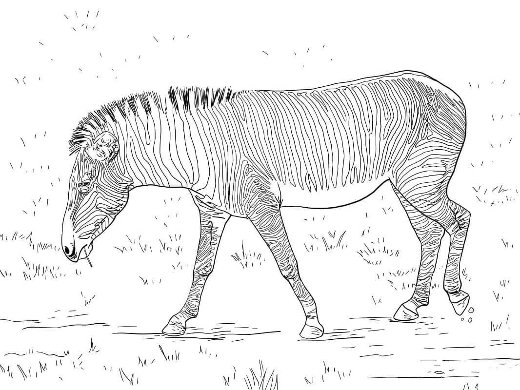 Desenhos de Zebra Selvagem 2 para colorir