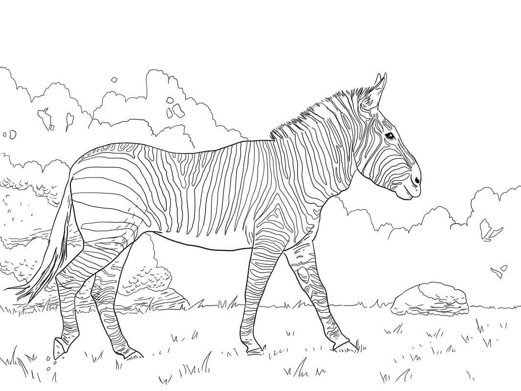 Desenhos de Zebra Selvagem 4 para colorir