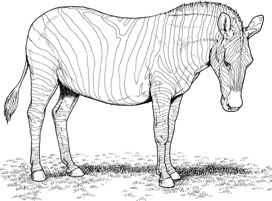 Desenhos de Zebra Selvagem 6 para colorir