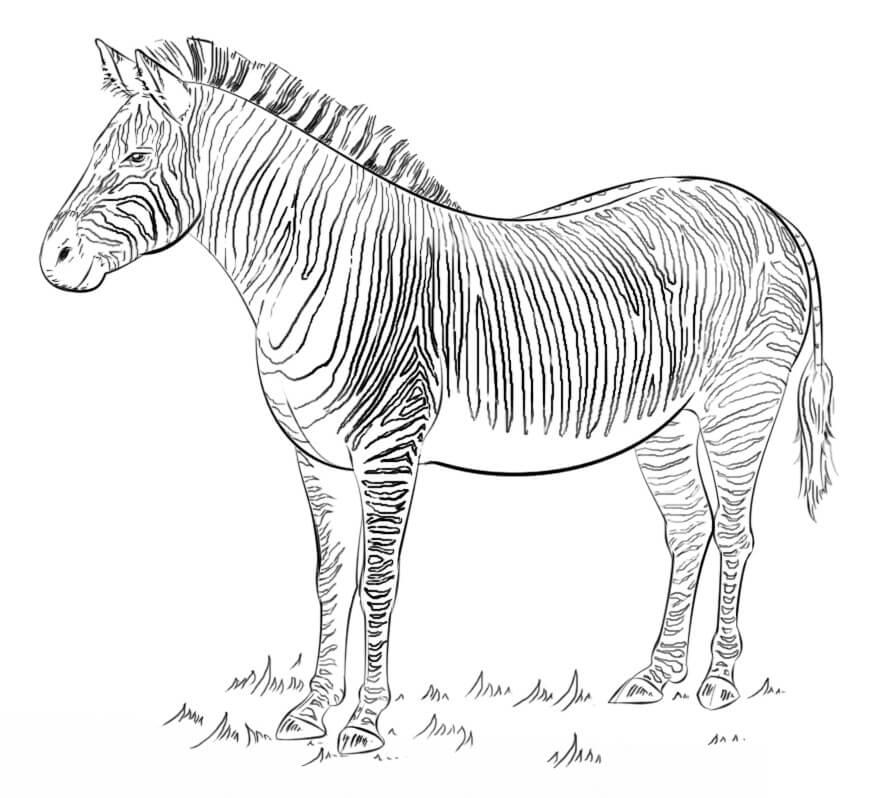 Desenhos de Zebra Selvagem para colorir